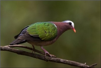 State Bird - Emerald dove (Chalcophaps indica)